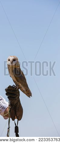 Tyto alba - Barn owl on the falconer's glove.