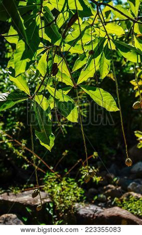 Freshwater Mangrove (itchytree) Under Sun Light In Summer Day.