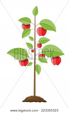Decorative fruit tree. Growth of plant, from sprout to fruit. Planting tree. Seedling gardening plant. Apple tree. Vector illustration in flat style