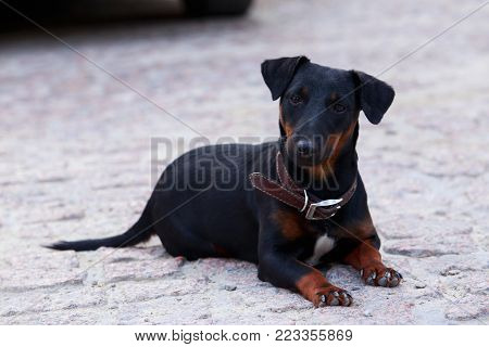 Dog breed german yaggter terrier on the open air