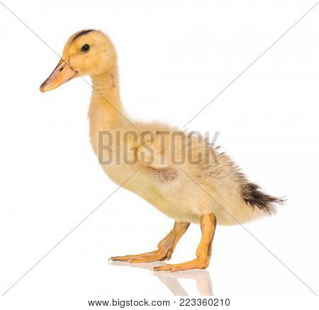 Cute little yellow newborn duckling isolated on white background. Newly hatched duckling on a chicken farm.