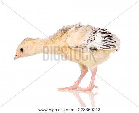 Cute little newborn chicken turkey, isolated on white background. One young nice big bird.