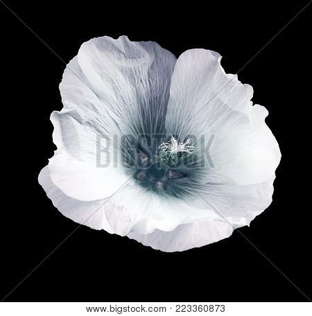 White-turquoise flower  mallow  on the black isolated background with clipping path  no shadows.   For design.   Closeup.  Nature.