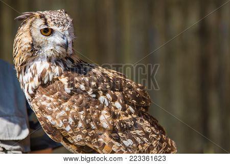 Bubo bubo - Real owl.Bird of prey.