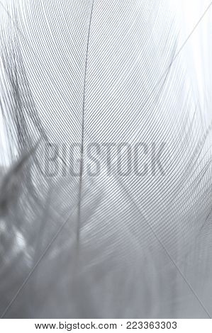 Light Violet Feather Of Bird For Background Image