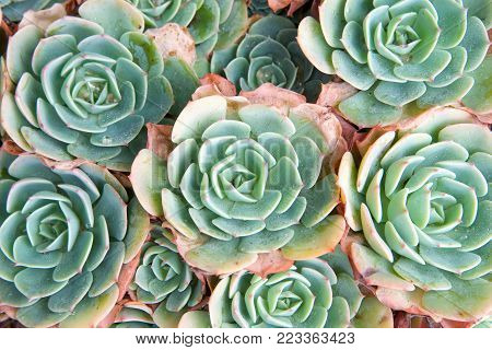 succulent echeveria with dying petals on edges. Echeveria is a large genus of flowering plants native to semi-desert areas of Central America, Mexico and northwestern South America. Drought resistant