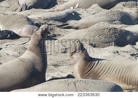 Female elephant seal with infant pup on a beach in California. Pups nurse about four weeks are weaned abruptly then abandoned by their mother, who heads out to sea within  days.