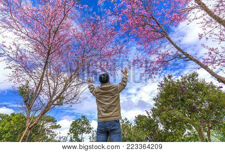 Da Lat, Vietnam - January 14, 2018: The man giveth arms to draw beautiful cherry blossoms in the morning as the joy of returning home from business trips in the highlands of Da Lat, Vietnam