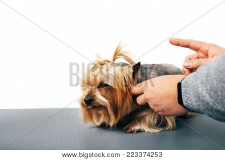 man scolds a Yorkshire terrier, a close-up of the guilty dog and abusive gestures with his hands on a white background