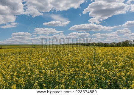 Field of bright yellow rapeseed in spring. Rapeseed Brassica napus oil seed rape.
