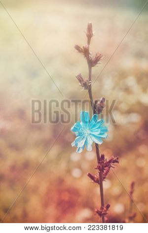 Stalk Of Chicory In Meadow. Rural Summer Background.