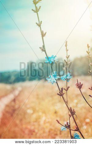Flowering chicory in meadow. Rural summer background.