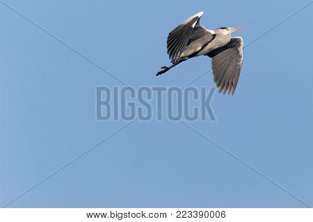 Grey Heron flying on blue sky background, Grey Heron in flight