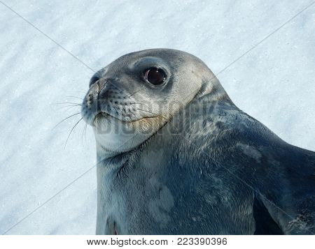 Seal - ringed seal (Pusa hispida), A young mother on the snow. Antarctic.
