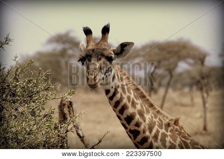 Giraffe eating from a tree in the African sabana