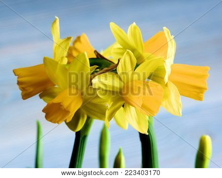 Flower Heads of Wild Yellow Daffodils with Green Leafs closeup on Blurred Blue background. Selective Focus