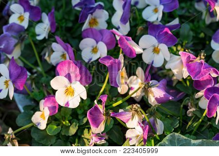 Purple-white heartsease flowers (viola tricolor hortensis) growing in a flowerbed