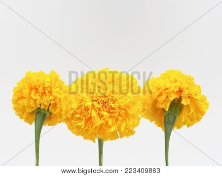 Yellow marigold flower isolated on white background used in cultrural and religion related in hinduism and buddhism