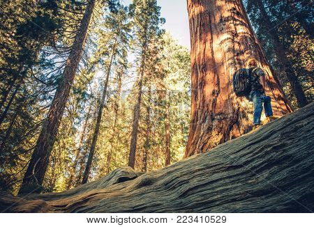 Caucasian Hiker Walking on the Fallen Redwood Sequoia Tree. Giant Sequoia Ancient Forest Exploring