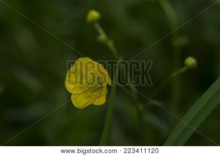 Yellow flowers Ranunculus repens, also called creeping buttercup crowfoot. macro close up.
