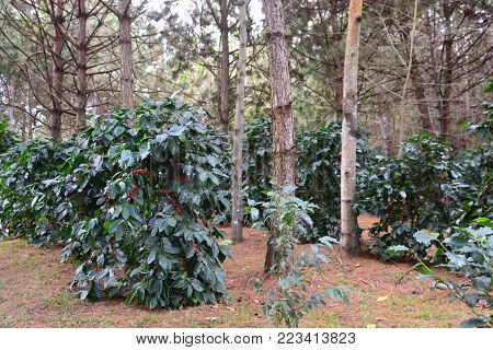 Coffee bean, coffee cherries or coffee berries on Arabica coffee tree
