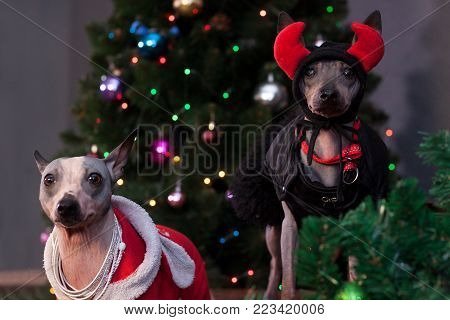 Two american hairless terrier is sitting in a beautiful clothes near the christmas tree. Pet animals. Traditional holidays.
