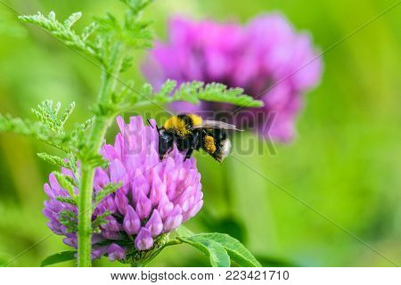 Bumblebee with a basket of pollen pollinates a purple clover flower. Meadow Bombus. Selective focus.