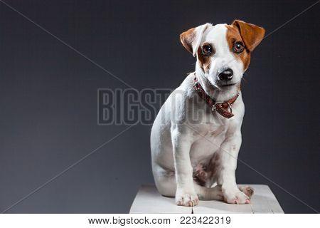 Little dog at studio. Portrait pet. Puppy jack russel terrier