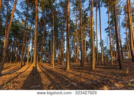 Coniferous forest against the sky, the sun shines on the trees. Coniferous forest.