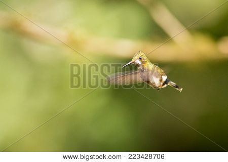 close up Wire-crested Thorntail, bird in its natural habitat, hummingbird flying, green hummingbird in a green environment, south america, ecuador