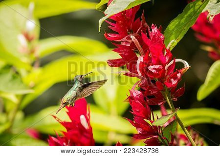 Very colorful shining green hummingbird Chrysuronia oenone Golden-tailed Sapphire with violet head and rufoust tail flying at red flowers. Blurred green tropical plants in background.