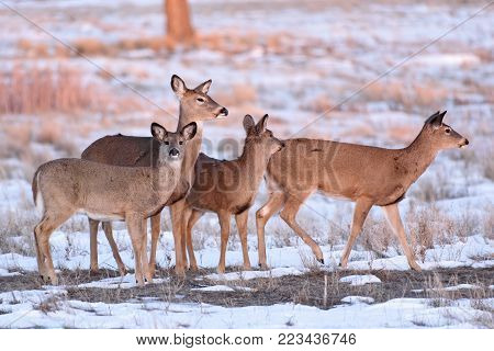 Wild Deer In the Colorado Great Outdoors - A Group of White-Tailed Does At Sunrise