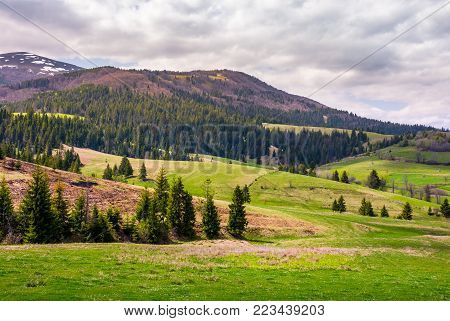 forested hills of Borzhava mountain ridge. beautiful nature scenery with grassy meadows on an overcast springtime day