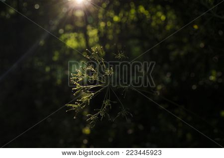 Blooming Hemlock or Poison Hemlock Conium maculatum in a meadow with shallow depth of field. beautiful round bokeh, sunlight of the sunset. abstract background