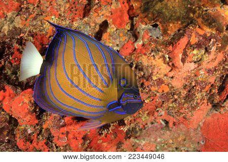 Blur ringed Angelfish reef fish