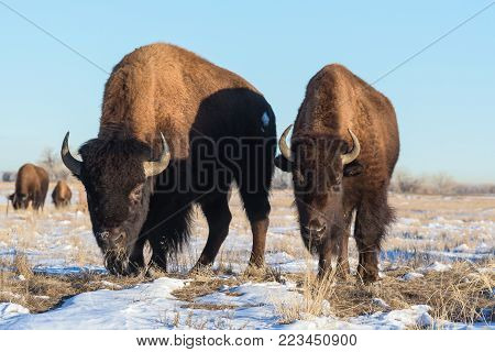 American Bison on the Colorado Plains - Snow Covered Grassy Field
