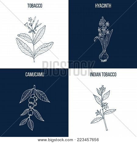 Vector collection of four hand drawn medicinal and eatable plants, tobacco, hyacinth, camucamu, indian tobacco
