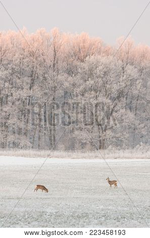 Vertical photo with two female roebucks. Animals are on the meadow covered by snow and frost. Winter landscape of field and trees with white snow. Tops of trees are orange from morning sun.