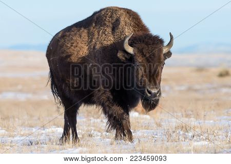American Bison Strolling Across A Snowy Field at Sunrise