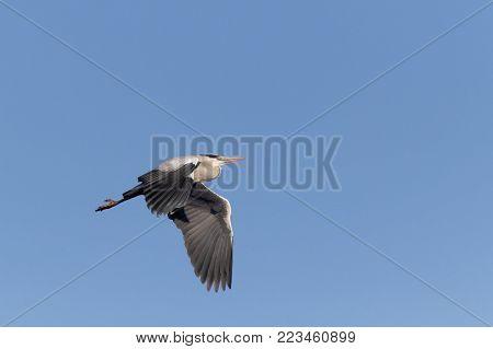 Grey Heron Ukraine 2018 Grey Heron flying on blue sky background, Grey Heron in flight