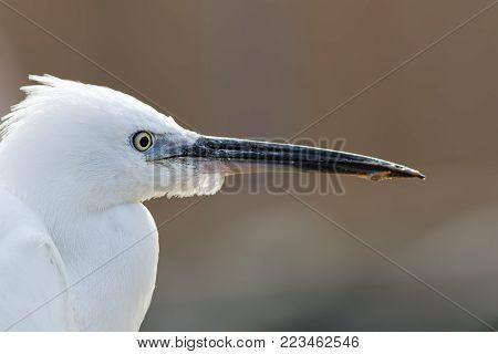 Little egret (Egretta garzetta) face in profile. Close up white wading bird head. Wildlife image against cream background with copy space.
