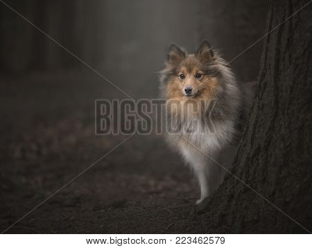 Shetland sheepdog behind a tree in a dark fairytale forest poster