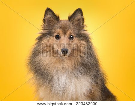 Portrait of a shetland sheepdog looking at the camera on a yellow background