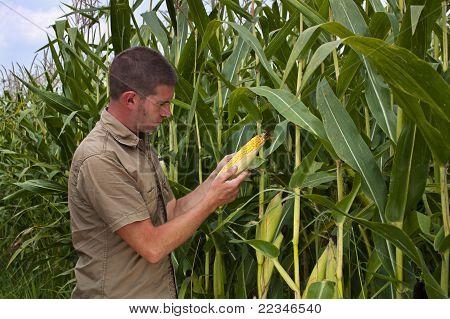 Farmer Inspecting Maize Harvest