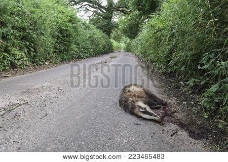 Road killed badger on a asphalt street in England