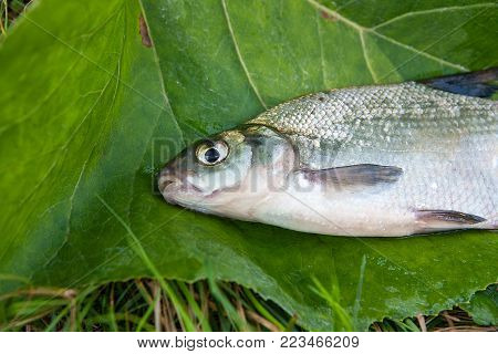 Freshwater Common Bream And White Bream Or Silver Bream Fish On Natural Background..