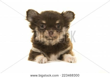 Cute chihuahua puppy lying down seen from the front looking at the camera on a white background