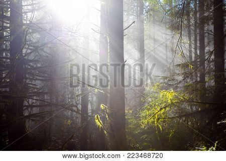 Sun Bursts Through Tall Fir Trees In A Dense Forest In Oregon. Rays Of Light Come Down From The Heav