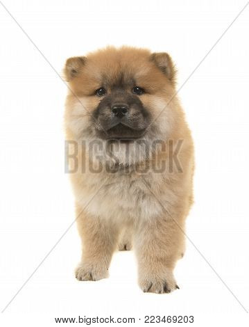 Chow chow puppy seen from the front looking at the camera walking towards the camera isolated on a white background