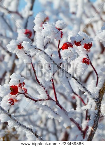 Hoar-frost covered red berries in winter, close-up